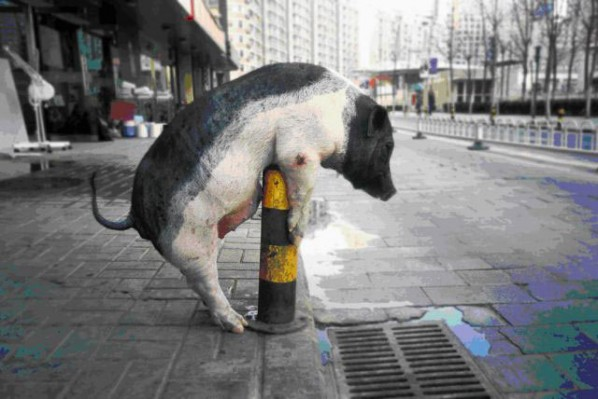 Decisive Swine(Series: works with no series); photography ARTIST: Lin Zhipeng