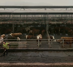 The Great Three Gorges-12, Chen Jiagang, 2011; Cows of Fengdu