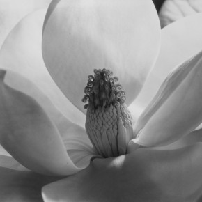 Imogen Cunningham Magnolia Blossom 1925 32.6x25cm 290x290 - Journey of the Heart: Exhibition of Straight Photography Original Print 1839-2014 Presented by the National Art Museum of China